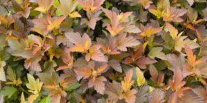 Coppertina Ninebark Garden Plant