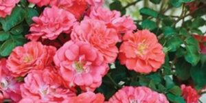 Coral Drift Rose Tree Garden Plant