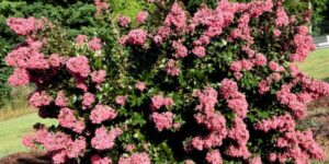 Coral Magic Crape Myrtle Garden Plant