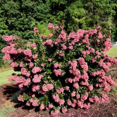 Coral Magic Crape Myrtle Garden Plant