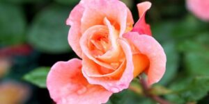 Coretta Scott King Rose Garden Plant