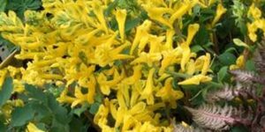 Corydalis Canary Feathers Garden Plant