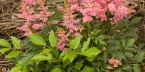 Country and Western Astilbe Garden Plant