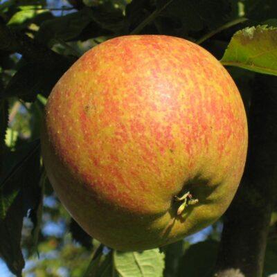 Cox Orange Pippin Apple Tree Garden Plant