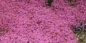 Creeping Thyme Garden Plant