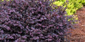 Crimson Fire Loropetalum Garden Plant