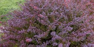 Crimson Pygmy Barberry Garden Plant