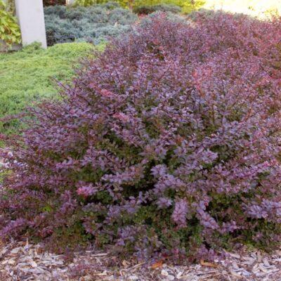 Crimson Pygmy Barberry Garden Plant