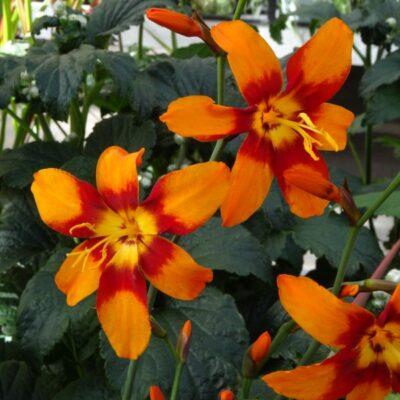 Crocosmia Emily McKenzie Garden Plant