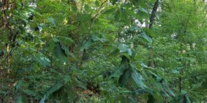 Cucumber Tree Magnolia Garden Plant