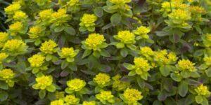 Cushion Spurge Garden Plant