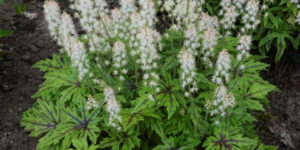 Cutting Edge Foamflower Garden Plant