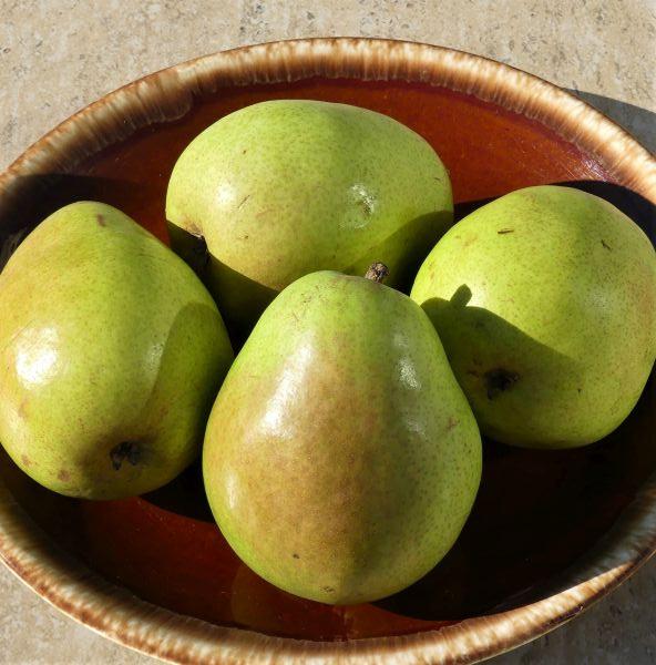 D Anjou Pear Tree Garden Plant