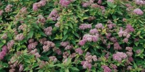 Dakota Goldcharm Spirea Garden Plant