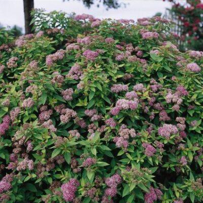Dakota Goldcharm Spirea Garden Plant