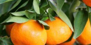 Dancy Tangerine Garden Plant
