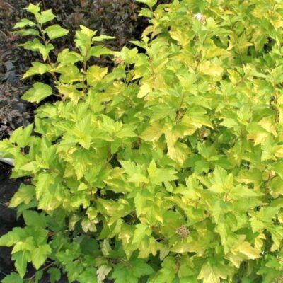 Darts Gold Ninebark Garden Plant