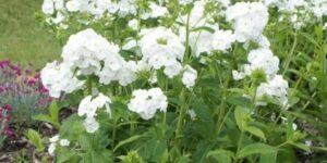 David Phlox Garden Plant