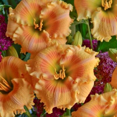Daylily Orange Smoothie Garden Plant