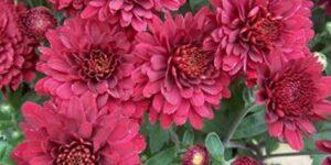 Days Aster Garden Plant