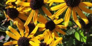 Deamii Black-Eyed Susan Garden Plant