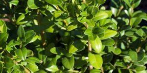 Dee Runk Boxwood Garden Plant