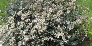 Delavay Osmanthus Garden Plant