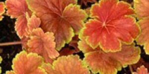 Delta Dawn Coral Bells Garden Plant