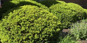 Densiformis Yew Garden Plant