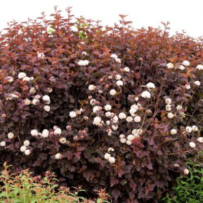 Diabolo Ninebark Garden Plant