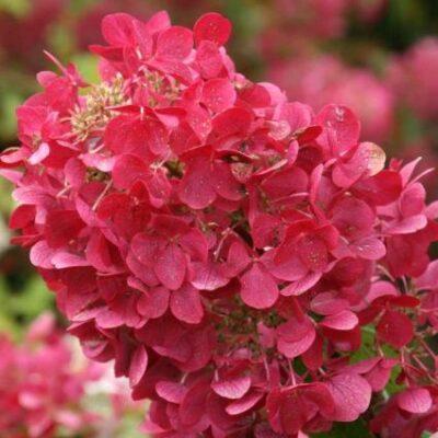 Diamond Rouge Hydrangea Garden Plant