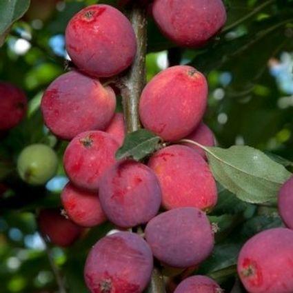 Dolgo Crabapple Tree Garden Plant