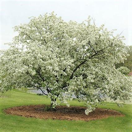 Donald Wyman Crabapple Garden Plant