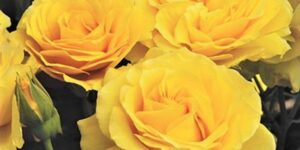 Doris Day Floribunda Rose Garden Plant