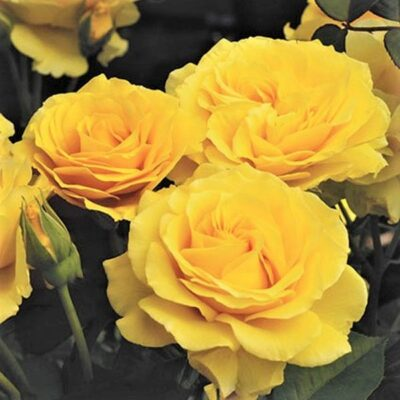 Doris Day Floribunda Rose Garden Plant