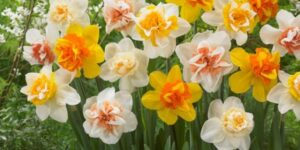 Double Daffodil Blend Garden Plant