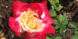 Double Delight Tea Rose Garden Plant