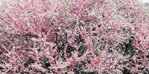 Double Flowering Plum Garden Plant