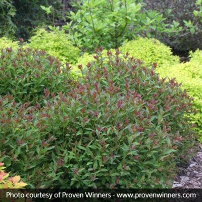 Double Play Artisan Spirea Garden Plant