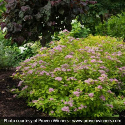 Double Play Big Bang Spirea Garden Plant