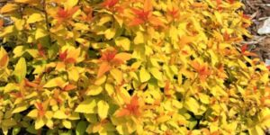 Double Play Candy Corn Spirea Garden Plant