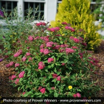 Double Play Doozie Spirea Garden Plant
