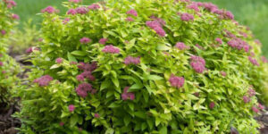 Double Play Gold Spirea Garden Plant