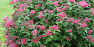 Double Play Red Spirea Garden Plant