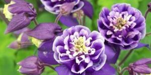 Double Winky Blue and White Columbine Garden Plant