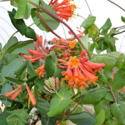Dropmore Scarlet Honeysuckle Vine Garden Plant