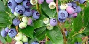 Duke Blueberry Garden Plant