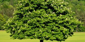 Dunstan Chestnut Trees Garden Plant