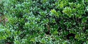 Dwarf Burford Holly Garden Plant