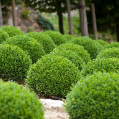 Dwarf English Boxwood Garden Plant